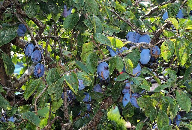 Gyümölcsöktől roskadozó szilvafa