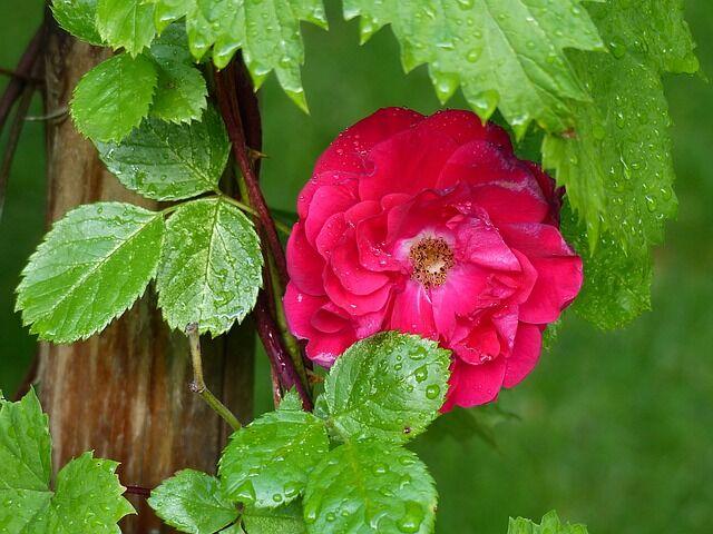Rózsaszín futórózsa virága