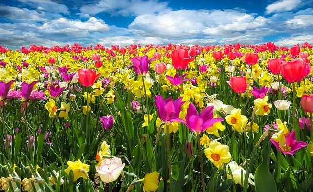Tulipánokkal tarkított virágtenger