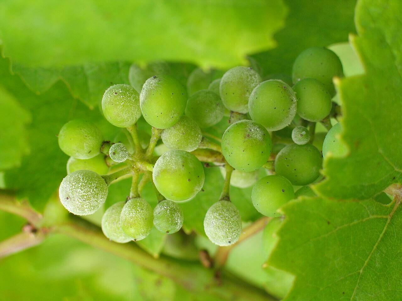 Szőlő lisztharmat jele a fiatal gyümölcsökön
