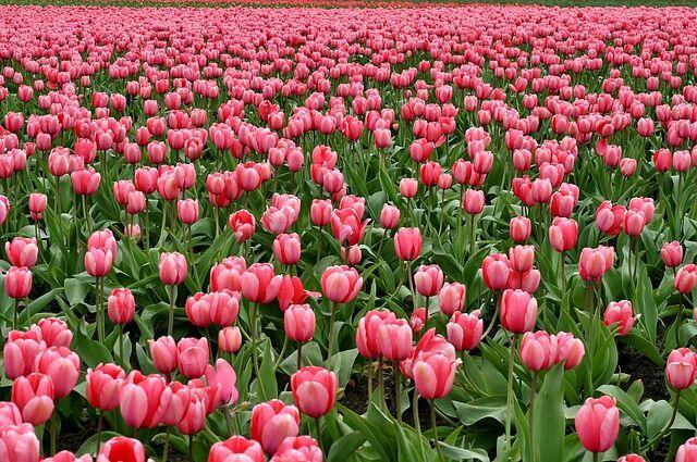 Pompázatos tulipánmező