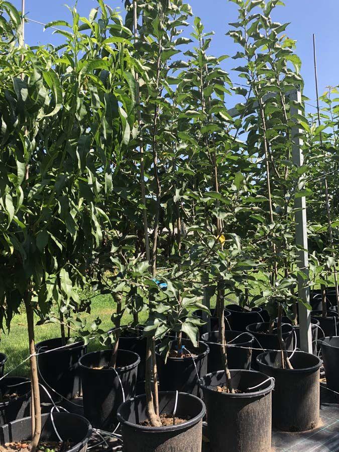 Extra méretű koros gyümölcsfa