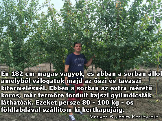 Extra méretű koros földlabdás gyümölcsfa