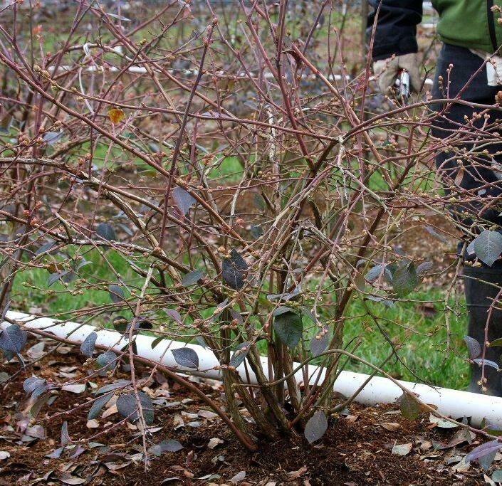 Áfonya tövek tavaszi metszés előtt