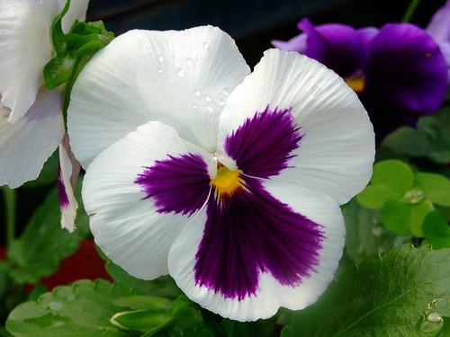 Viola x wittrockiana - Árvácska virága