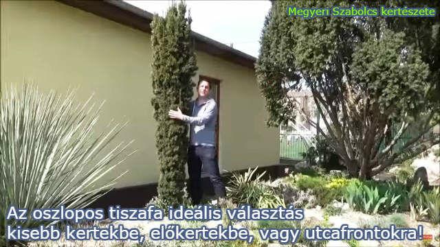 Oszlopos tiszafa a kertben