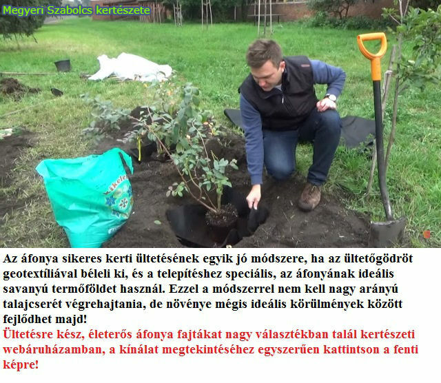 Áfonya tő ültetése geotextília segítségével