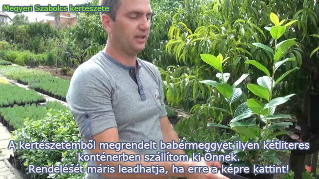 babérmeggy vásárlás Megyeri kertészet