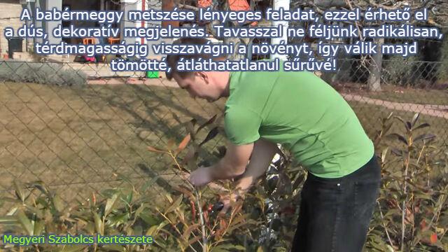 babérmeggy metszése Megyeri kertészet