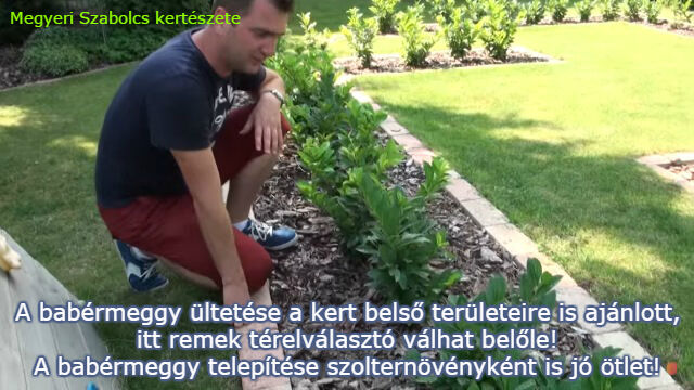 babérmeggy webshop Megyeri Szabolcs kertészete