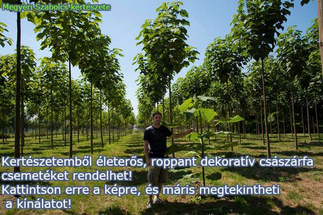 Császárfa csemeték rendelése a Megyeri kertészetből!