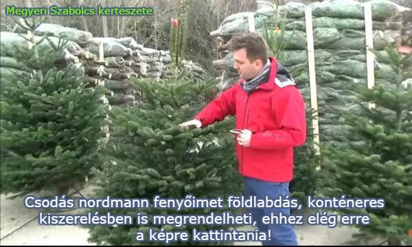 Élő nordmann fenyő vásárlás Megyeri kertészetben!