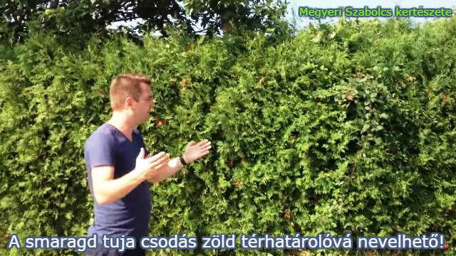 smaragd tuja vásárlás a Megyeri kertészetben