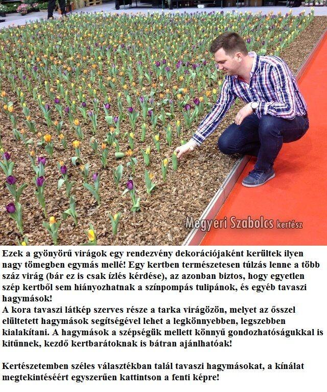 Hagymás virágok vásárlása a Megyeri kertészetből!