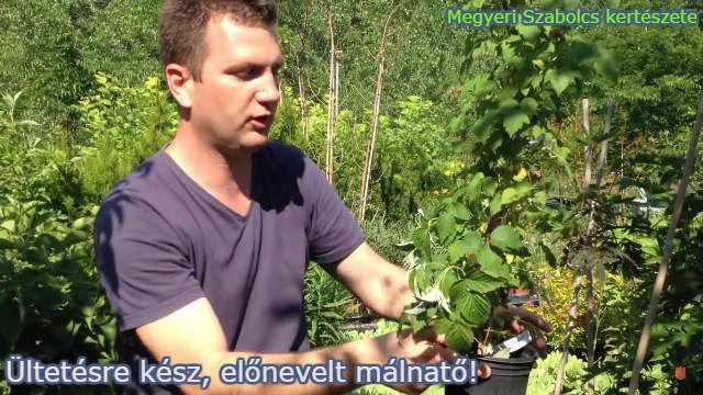 málna vásárlás a Megyeri kertészetben