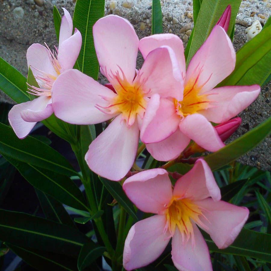 Leander virága