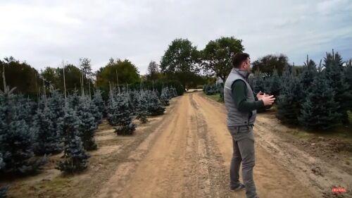 Ezüstfenyő karácsonyfa rendelhető a Megyeri kertészet webáruházból!