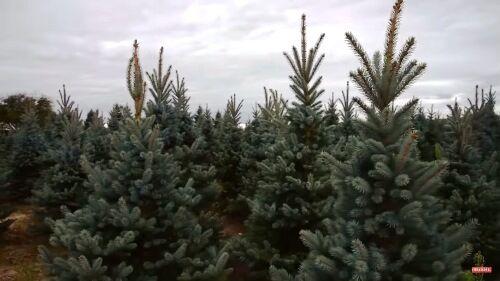 Dézsás karácsonyfa vásárolható a Megyeri kertészetből!
