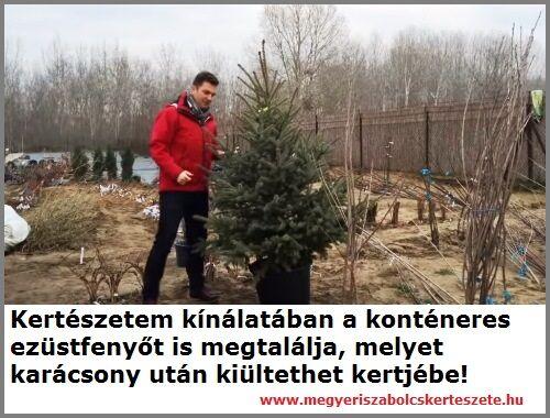 Konténeres ezüstfenyő karácsonyfa rendelés a Megyeri kertészetből!