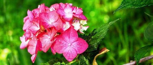 Hortenzia fajták széles választéka kapható a Megyeri kertészetben!