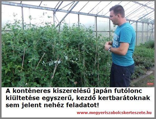 Japán futólonc rendelhető a Megyeri kertészetből!