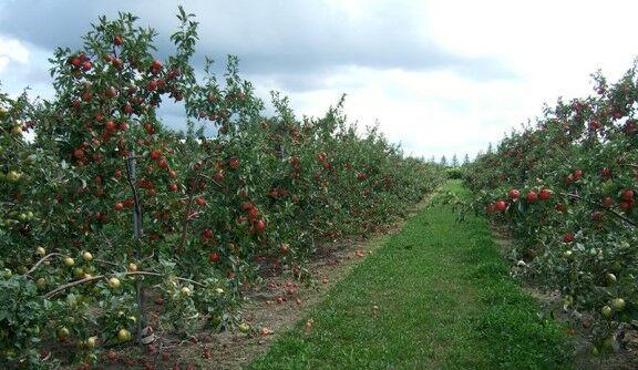 Gyümölcs facsemete kapható a Megyeri kertészetben!