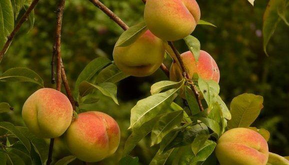 Gyümölcsfa rendelés a Megyeri kertészetből!