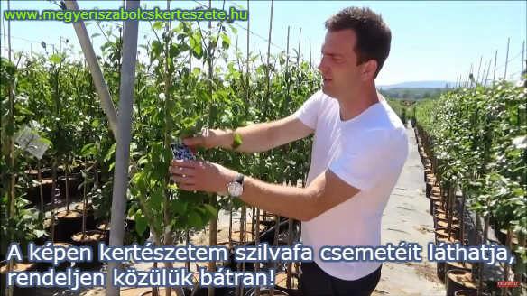 Szilva facsemete rendelés a Megyeri kertészetből!