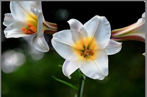 Fehér liliom virága