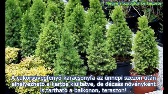 Cukorsüvegfenyő vásárlása a Megyeri kertészetből!