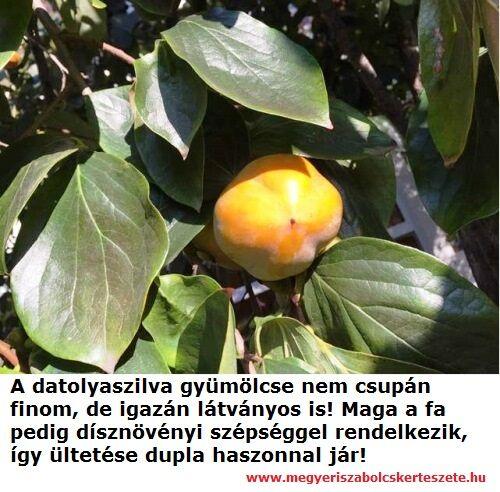 Datolyaszilva csemete vásárolható a Megyeri kertészetben!