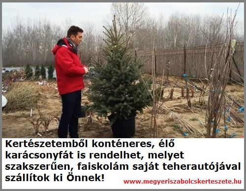Konténeres karácsonyfa vásárolható a Megyeri kertészetben!