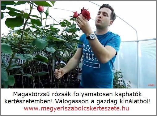 Magastörzsű rózsa vásárlás a Megyeri kertészetből!