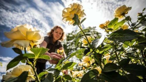 Rózsák hatalmas választéka online kertészetemben!