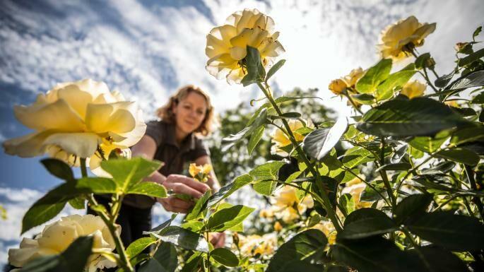 Rózsa rendelés a Megyeri kertészetből!