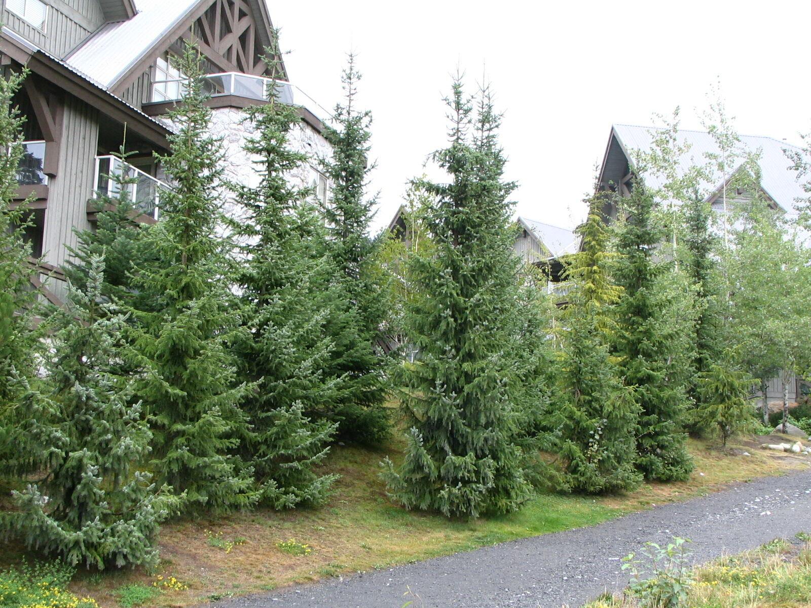 Szerb lucfenyő karácsonyfa rendelhető!