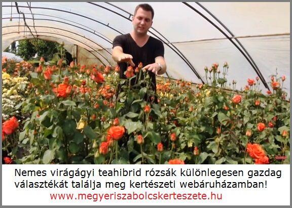 Rózsa rendelés országos kiszállítással!