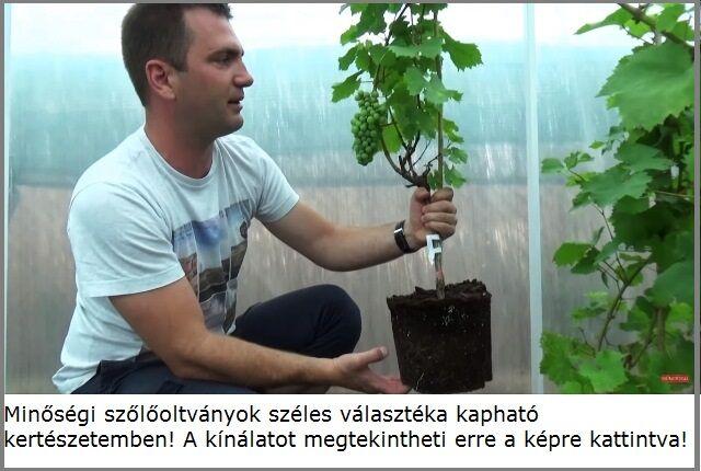 Szőlő oltványok széles választéka Megyeri kertészetben!