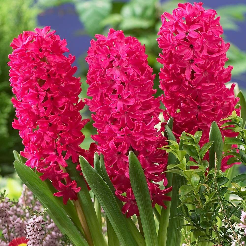 Janbos jácint virága