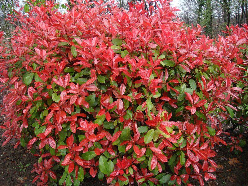 Gyönyörű pirosas színben pompázik a Korallberkenye levele