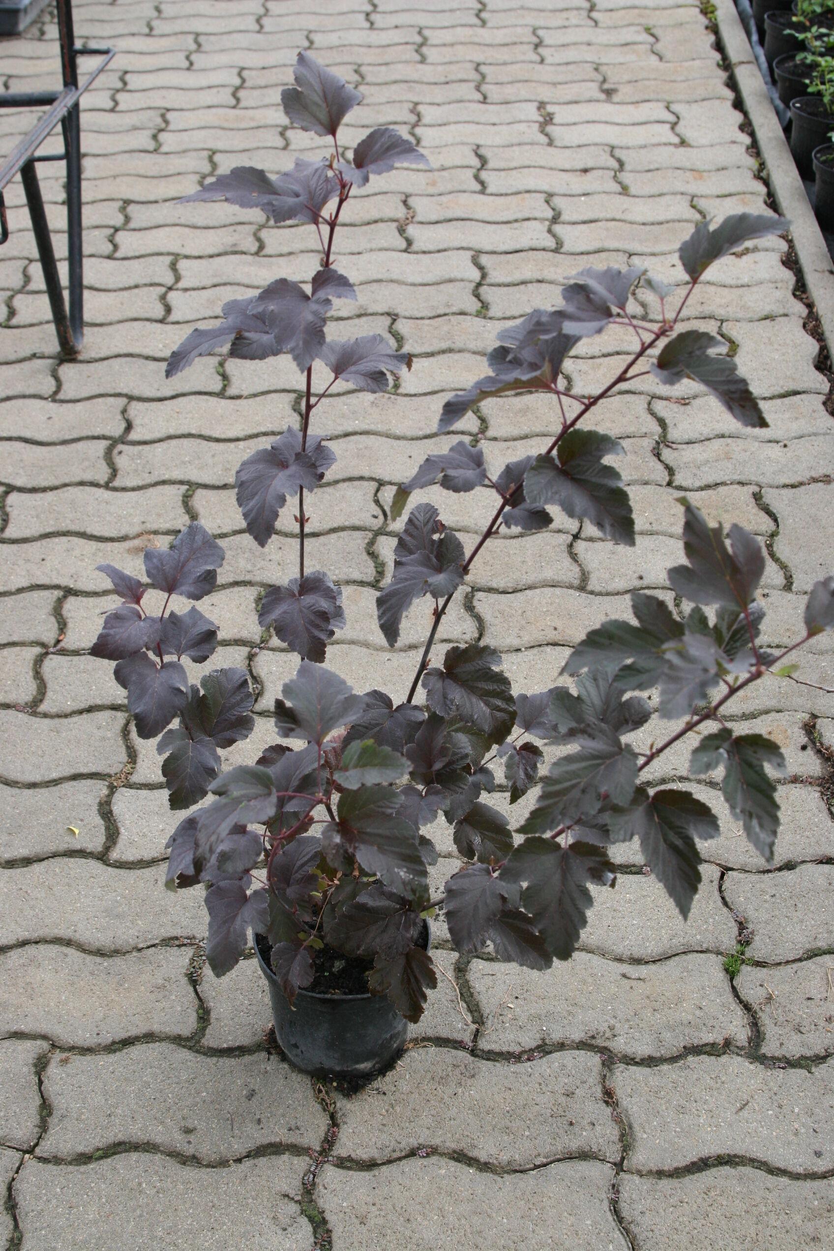 Physocarpus opulifolius 'Diabolo' Vöröslevelű hólyagvessző kiszállítás után