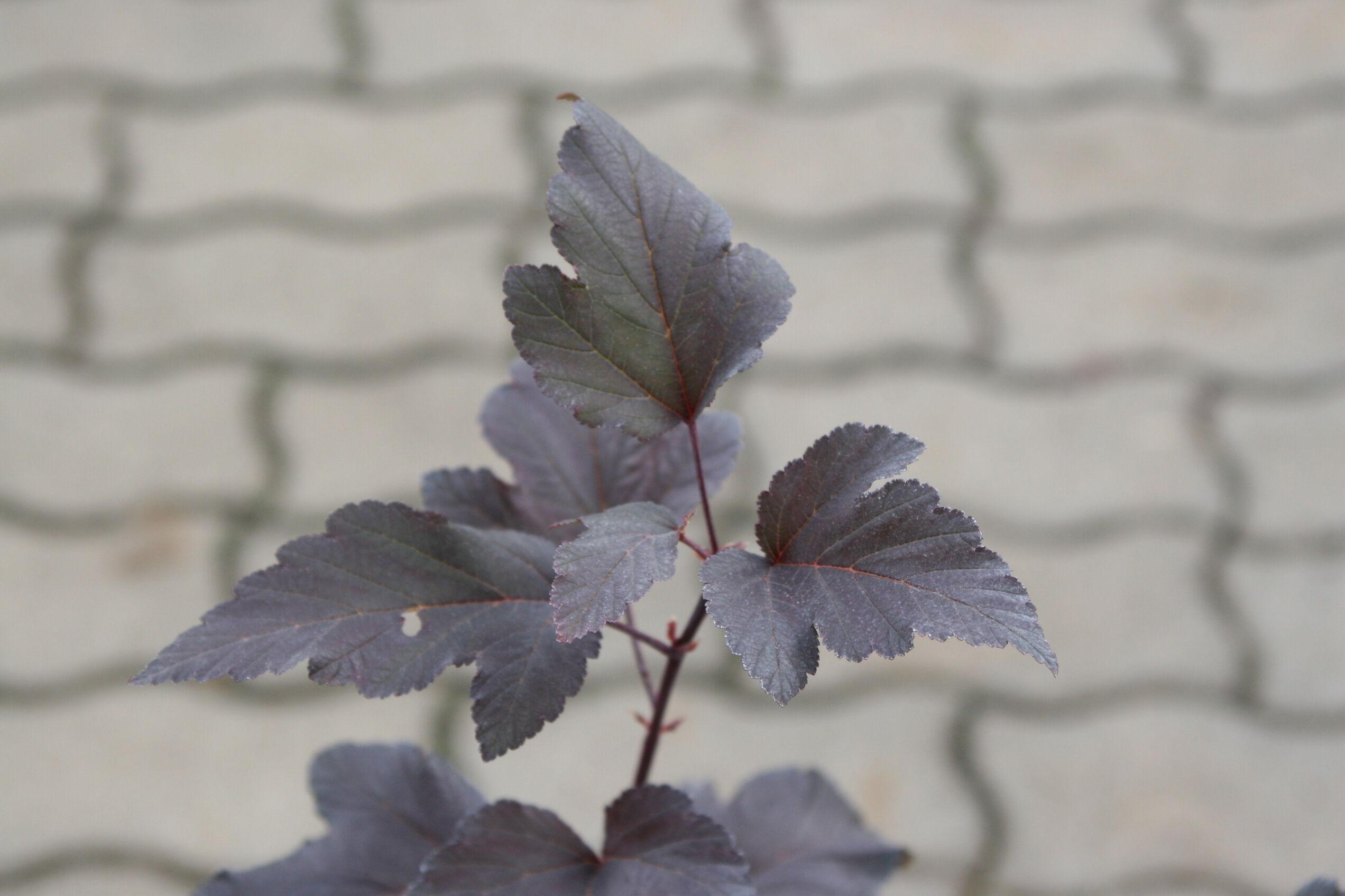 A vöröslevelű hólyagvessző levele közelről