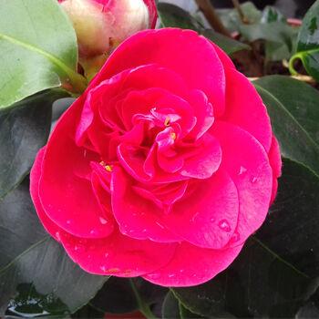 Egzotikus virágforma a Japán kamélia örökzöld cserjén