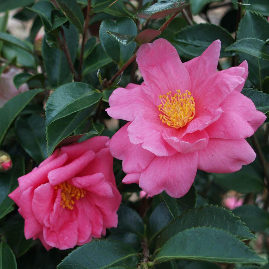 A varázslatos megjelenésű Kamélia virága
