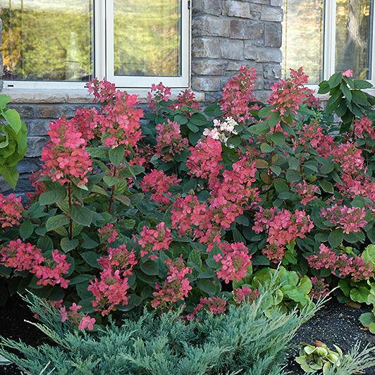 Vöröses színű bugás hortenzia az ablak alatt