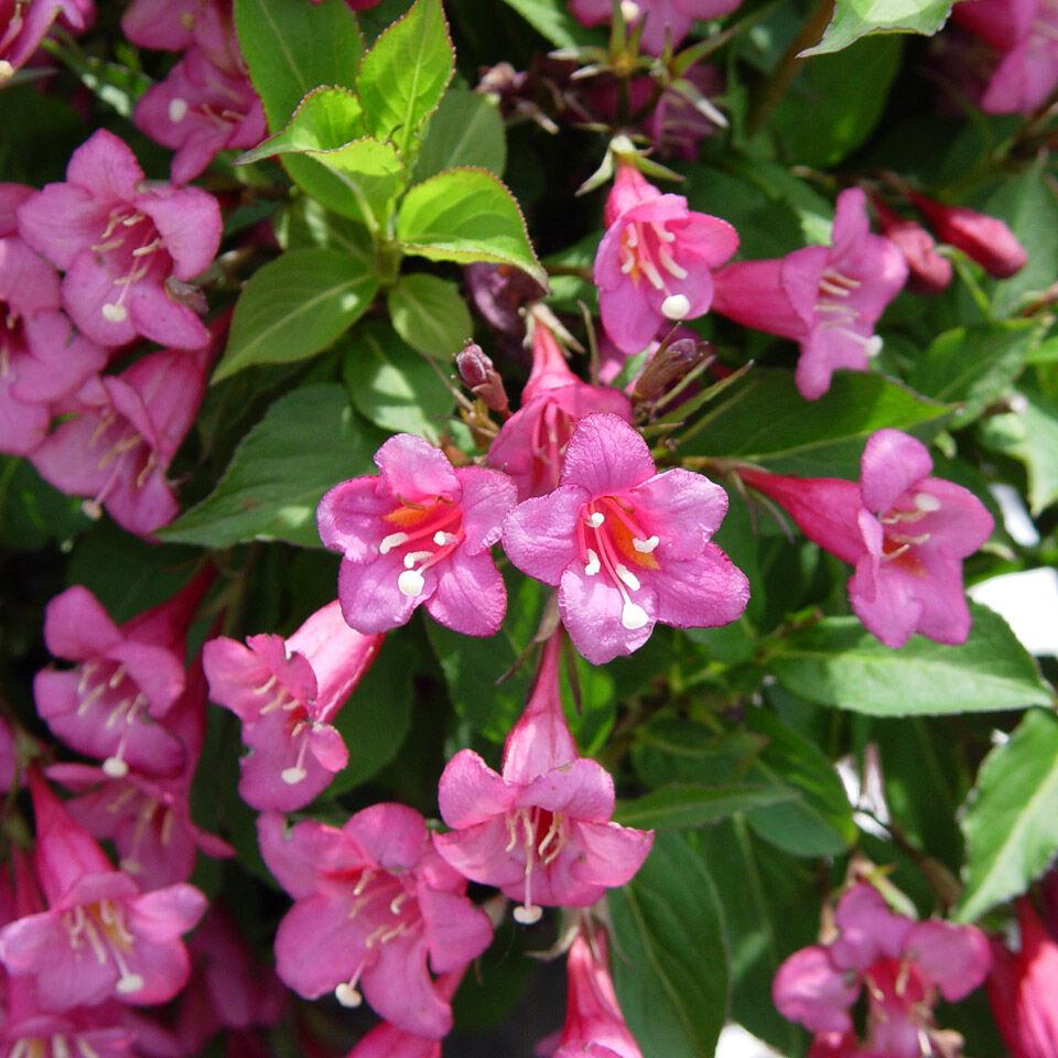 Sötét rózsaszín virágú rózsalonc