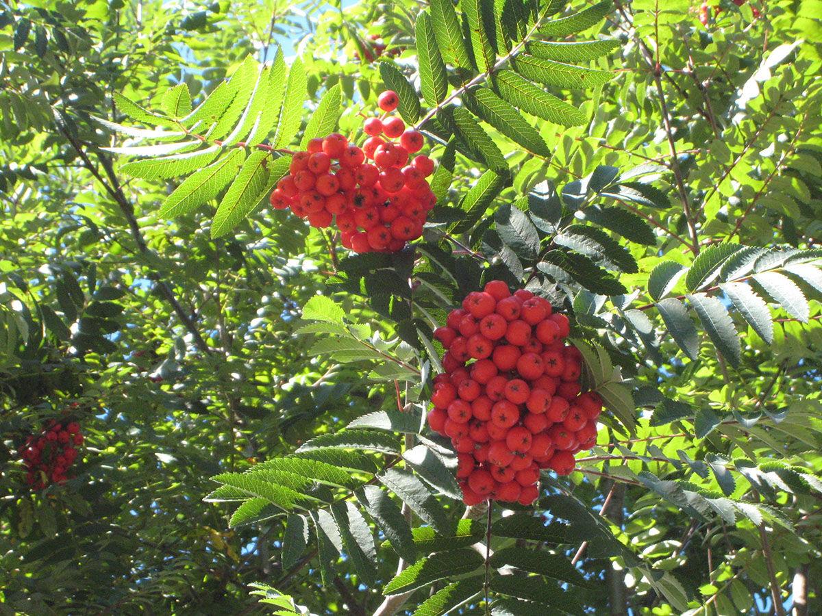 Cardina Royal madárberkenye termése