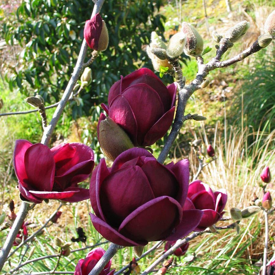 A különleges színű 'Genie' liliomfa fajta virágai