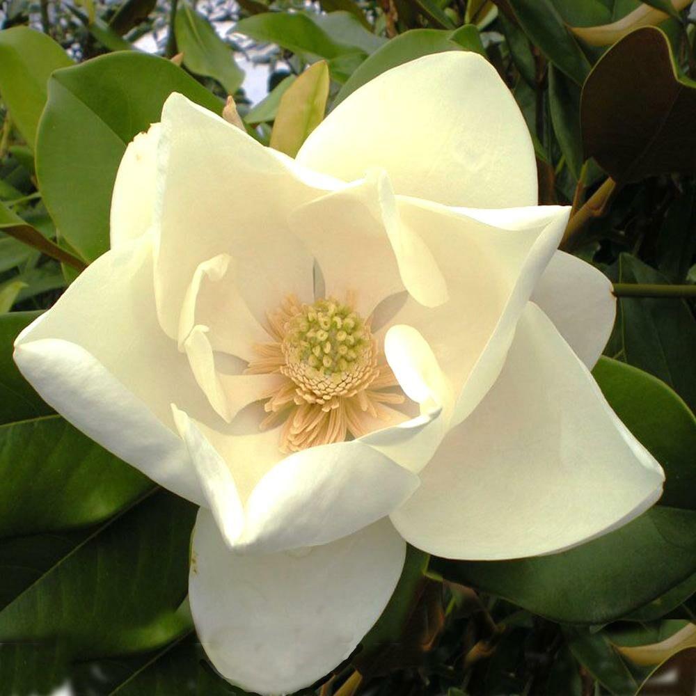 Az örökzöld 'Nantais' magnólia fajta virága