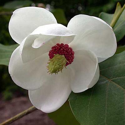 A Magnolia sieboldii virágának egzotikus megjelenése